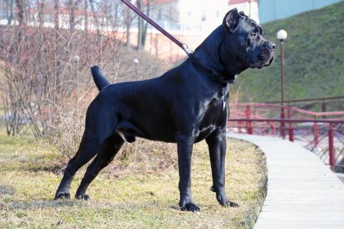 chien de garde italie