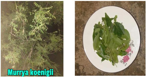 Murrya Koenigii plant