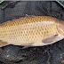 Resep Membuat Umpan Mancing Ikan Mas Babon Harian dan Lomba