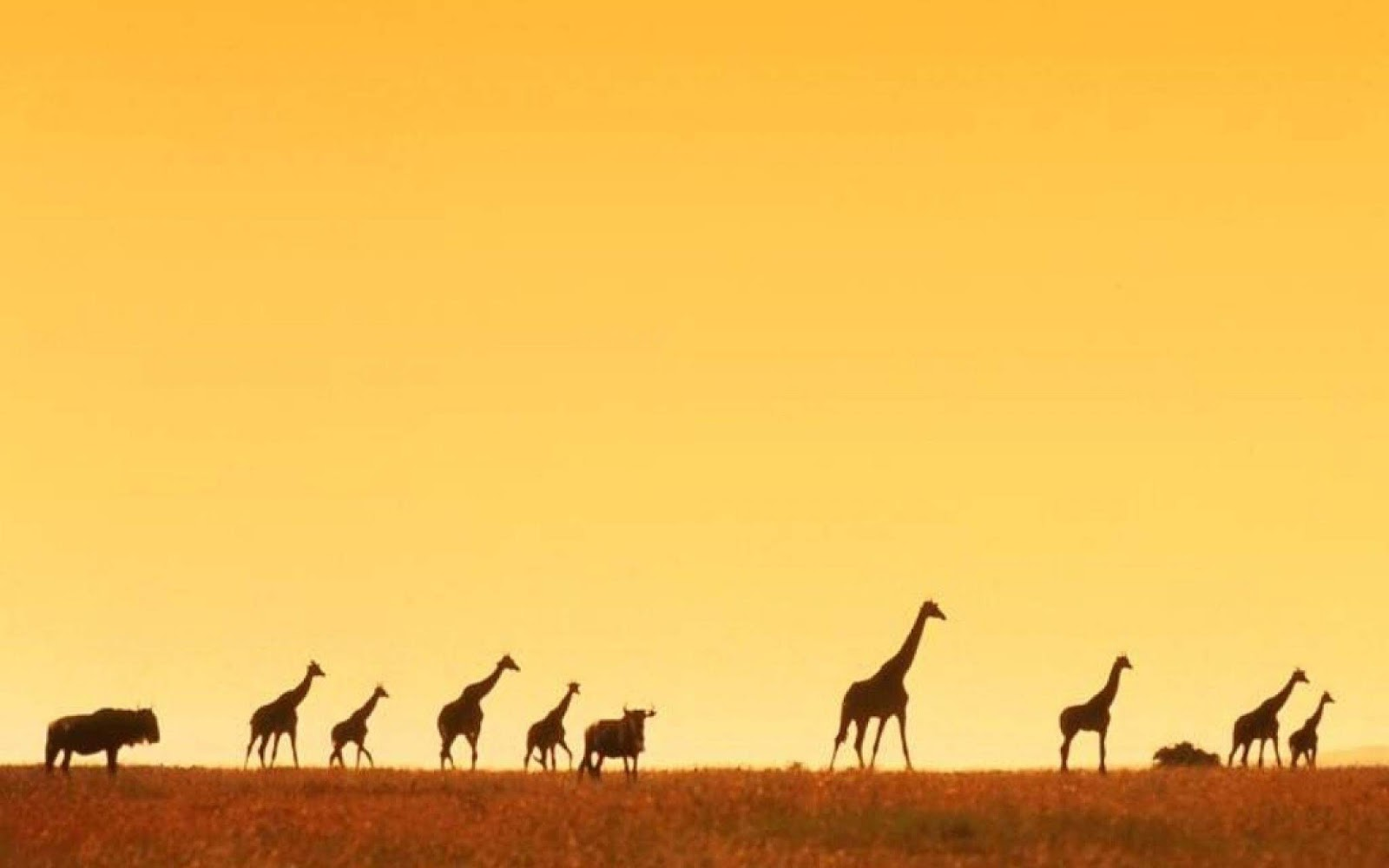 giraffe africa wallpapers hd