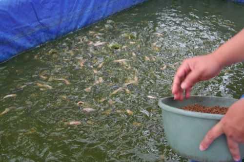 cara budidaya lele di kolam terpal untuk pemula