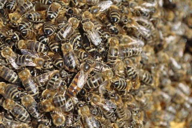 Σε πόσες μέρες ετοιμάζεται το μελίσσι για να το μεταφέρουμε σε ανθοφορία για μέλι