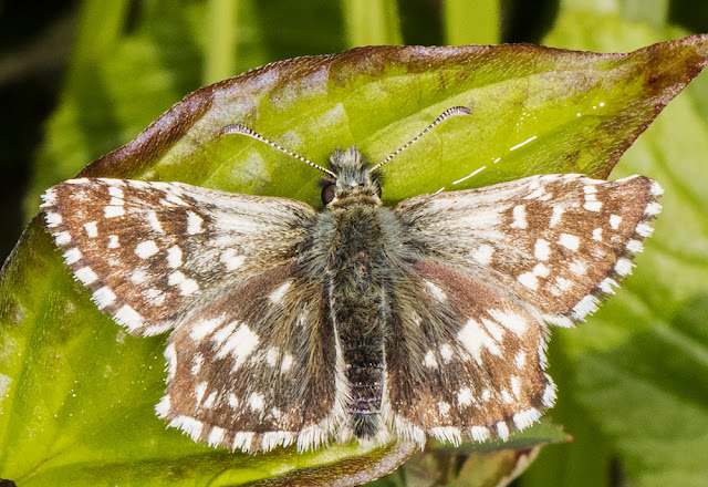 Grizzled Skipper, Pyrgus malvae.  Chapel Bank, 24 May 2016.