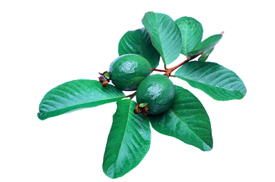 Maruthuva Kurippu in tamil : Benefits of guava fruits