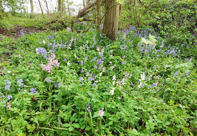 pink, white and blue Spanish bluebells in the woods