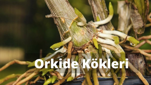 Orkide kökleri