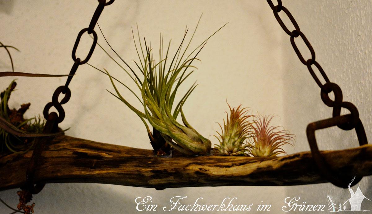Tillandsien, Deko, DIY, Gartenblog, Treibholz