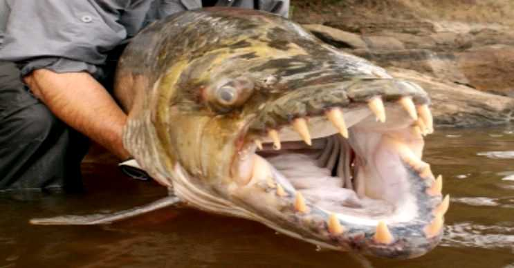 Afrika kaplan balığı inanılmaz sivri dişlere sahiptir, ancak bu dişler gördüğü kadar keskin değildir.