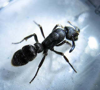 Pachycondyla tridentata ant worker