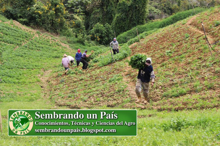 producción agrícola en el Estado Miranda