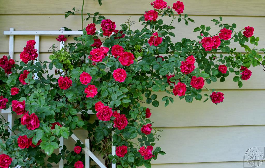 Aiden Gardens Climbing Rose Seed Germination