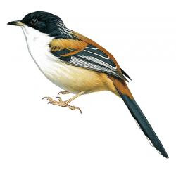 Rufous-backed Sibia