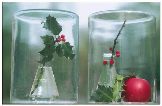 Gambar Pengaruh etilen pada ranting tanaman holly. Dua ranting serupa ditempatkan di bawah stoples kaca selama seminggu; pada saat yang sama, sebuah apel matang ditempatkan di bawah tabung di sebelah kanan. Etilen yang diproduksi oleh apel menyebabkan hilangnya daun tanaman holly akibat etilen berlebih.
