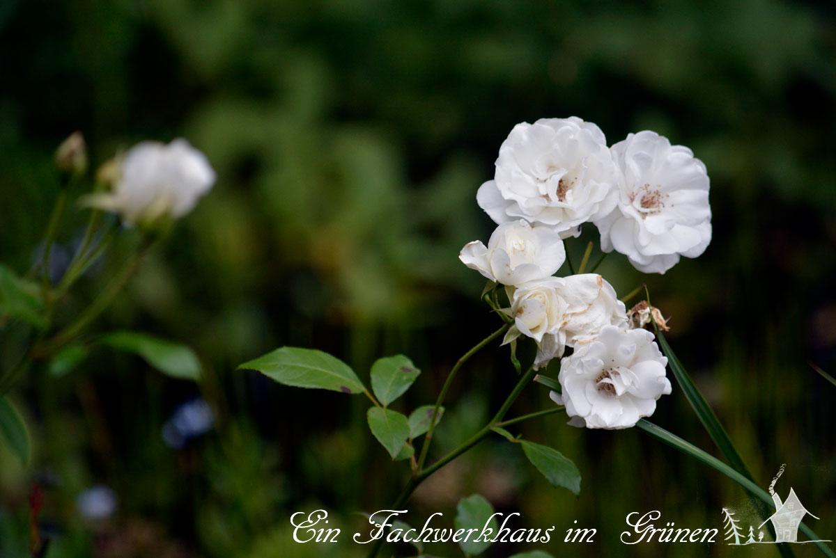 Schneewittchen Rose