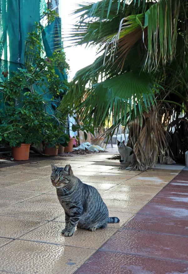 gatos de mallorca