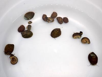 黑金剛螺,軍帽螺,黃金螺,角螺,澄兔螺,兔螺,紫晶螺,斑馬螺,巧克力螺,洋蔥螺,蜜蜂角螺,彩蛋螺,虎紋螺,笠螺,鮑魚螺