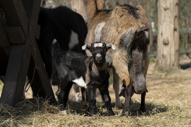 Házi kecske született a debreceni állatkertben