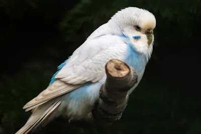Four Ways to Reduce Aggressive Behavior in Budgies