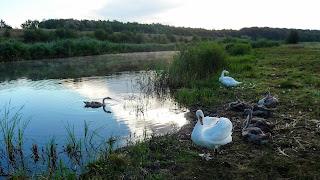 Лебеді-шипуни на річці Бик. Кам'янка, Добропільський р-н, Донецька обл.