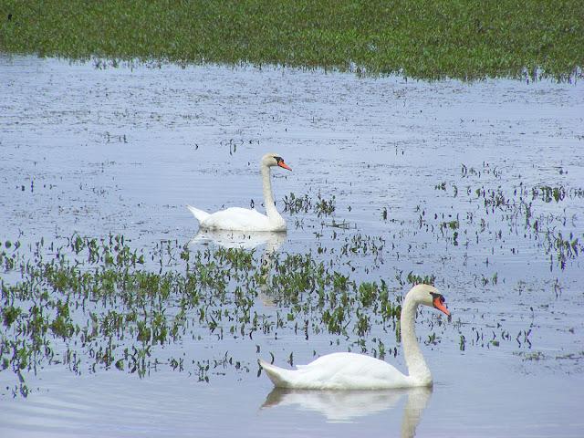 Mute Swans Cygnus olor. Indre et Loire. France. Photo by Loire Valley Time Travel.