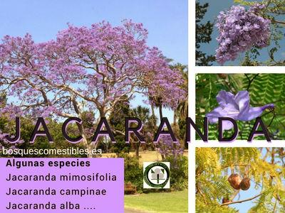 Jacaranda es un árbol de procedencia sudamericana, son varias especies como la Jacaranda mimosifolia