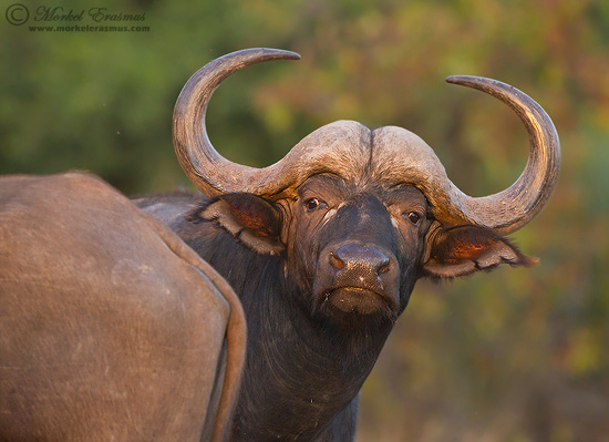 PhotoShare: Inquisitive Buffalo