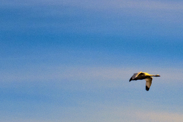 Birds of Patagonia: coscoroba swan in flight in El Calafate Argentina