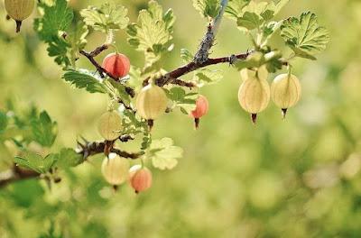 buah beri unik gooseberry