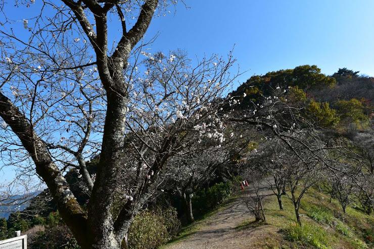 桜山公園の峰の冬桜並木