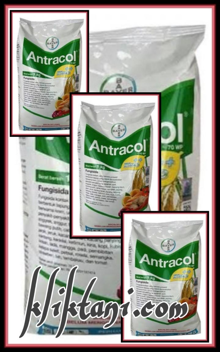 Fungsi Fungisida Antracol 70 Wp Bagi Tanaman Padi Jagung Dan Sebagainya Kliktani Com