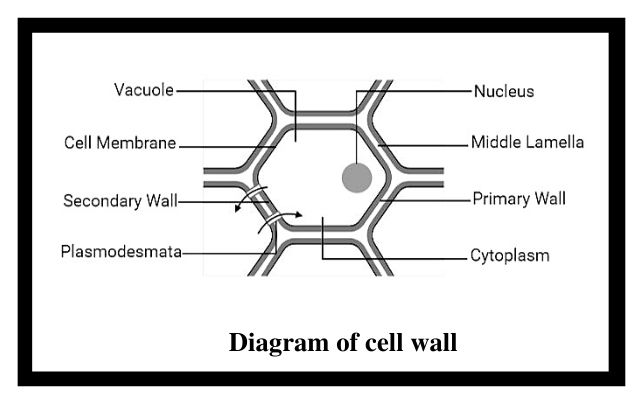diagram of a cell wall