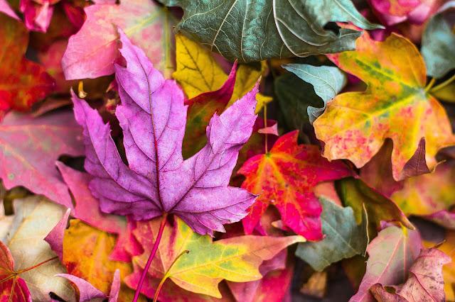 Herbstbunte Blätter, eines davon knallpink