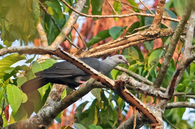 Andaman Wood-Pigeon - Image by Aseem Kothiala
