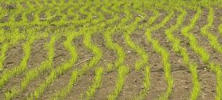 Syarat tumbuh padi gogo