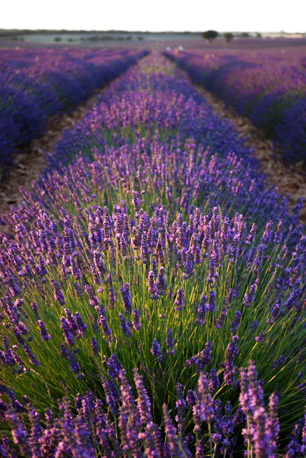 beautiful pretty village small town spain old countryside medieval lavender field mountain festival lavanda guadalajara brihuega