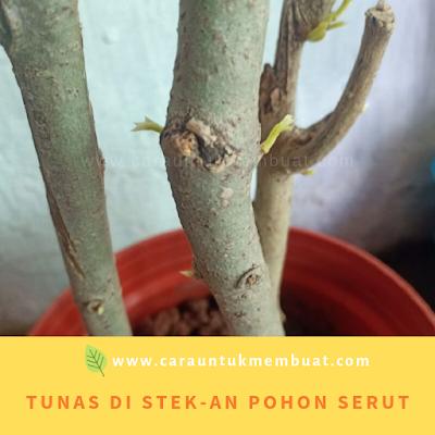 Tunas Di Batang Stekan Pohon Serut
