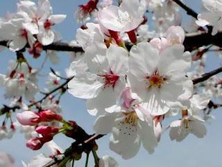 Gambar Bunga Sakura Paling cantik di Jepang 11000