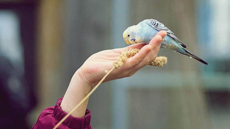 Evlerde beslenen kuşlar alerjik reaksiyona neden olabilir