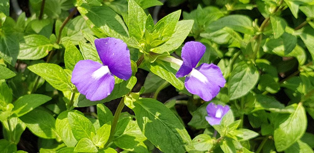 ดอกของต้นบลูฮาวาย