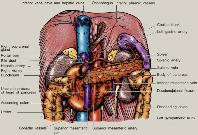 Spleen topography. Spleen function. Spleen Relations. Spleen Blood Supply
