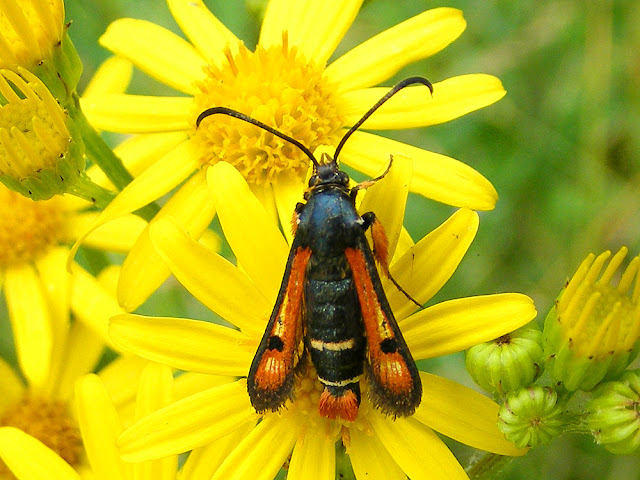 Fiery Clearwing Pyropteron chrysidiforme. Indre et Loire. France. Photo by Loire Valley Time Travel.