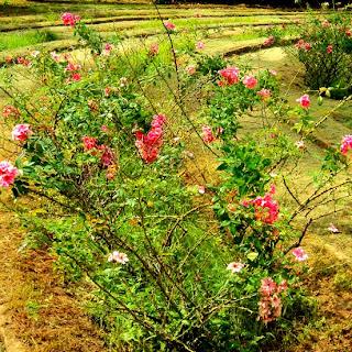 Rosas Cor-de-rosas no Roseiral no Jardim Botânico do Rio de Janeiro