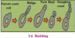 Budding Class 10