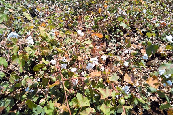 Genetically Modified Cotton approved by Cabinet and its budget -PS Agriculture Hamadi Mboga