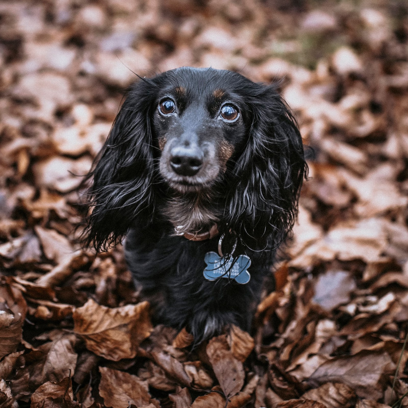 where to focus when doing pet photography dachshund liquid grain