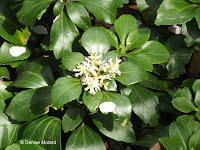 Small white flowers with glossy leaves - Ueno Park, Tokyo, Japan