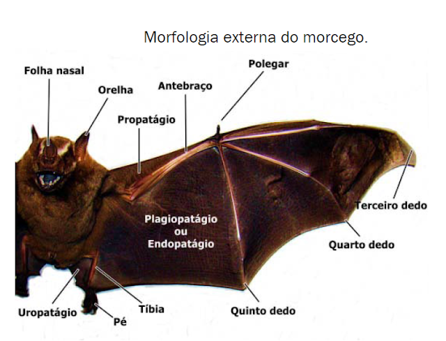 Anatomia externa do morcego - folha nasal, orelha, propatágio, antebraço, polegar, terceiro dedo, quarto dedo, quinto dedo, tíbia, pé, uropatágio