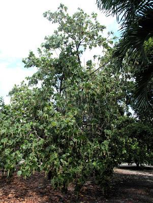 Huge Seagrape tree.