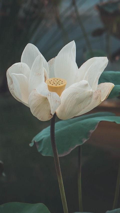 Cánh hoa sen trắng
