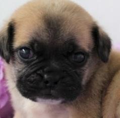 F1b Puggle Temperament, Size, Lifespan, Adoption
